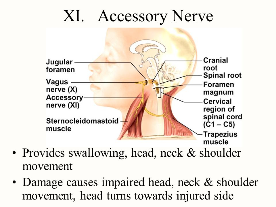XI. Accessory Nerve Provides swallowing, head, neck & shoulder movement.