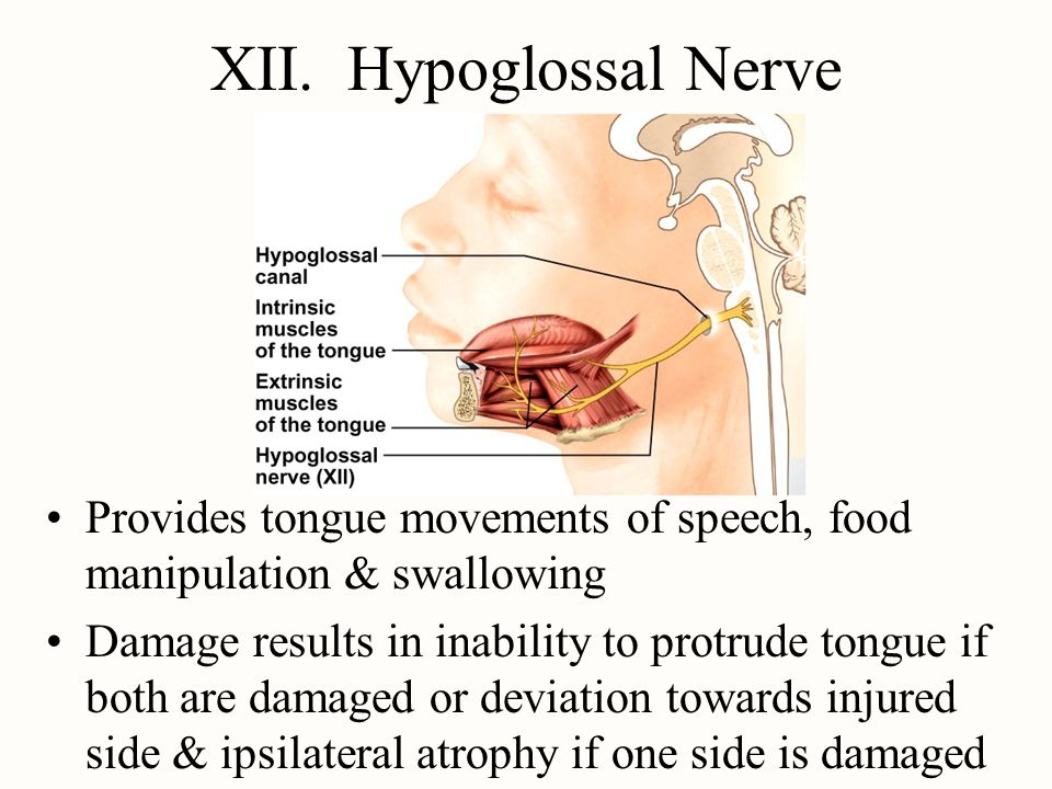 XII. Hypoglossal Nerve Provides tongue movements of speech, food manipulation & swallowing.
