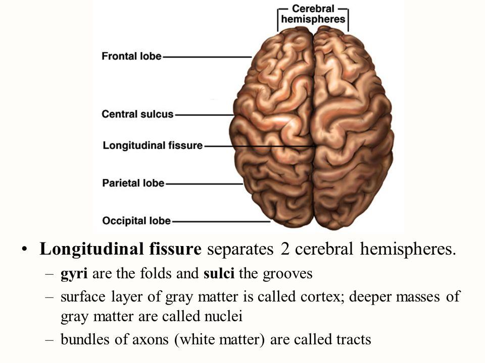 Longitudinal fissure separates 2 cerebral hemispheres.
