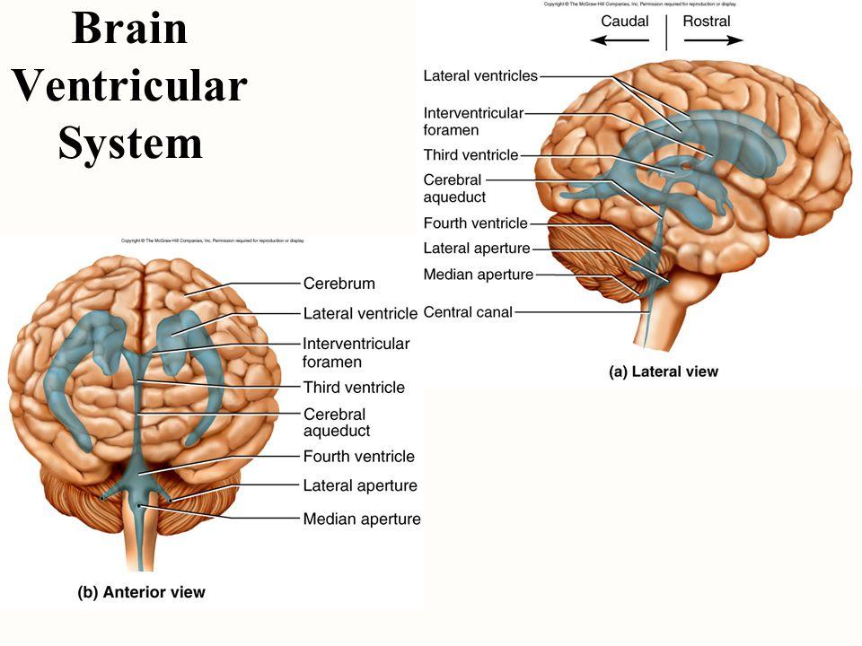 Brain Ventricular System