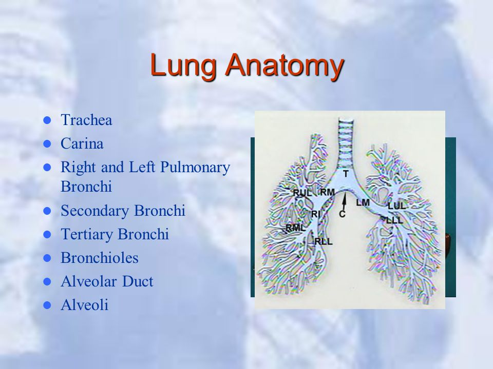 Lung Anatomy Trachea Carina Right and Left Pulmonary Bronchi