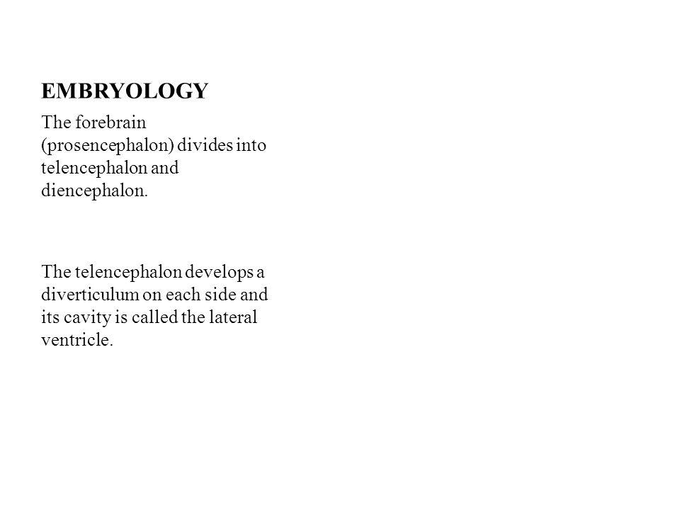 EMBRYOLOGY The forebrain (prosencephalon) divides into telencephalon and diencephalon.