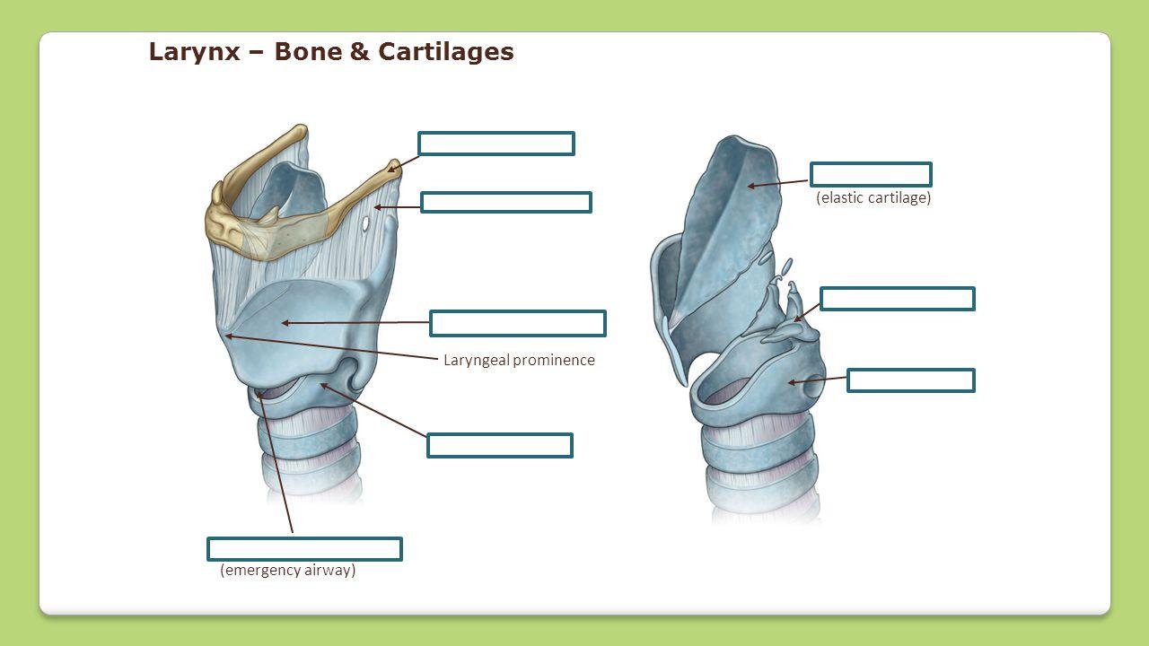 Larynx – Bone & Cartilages