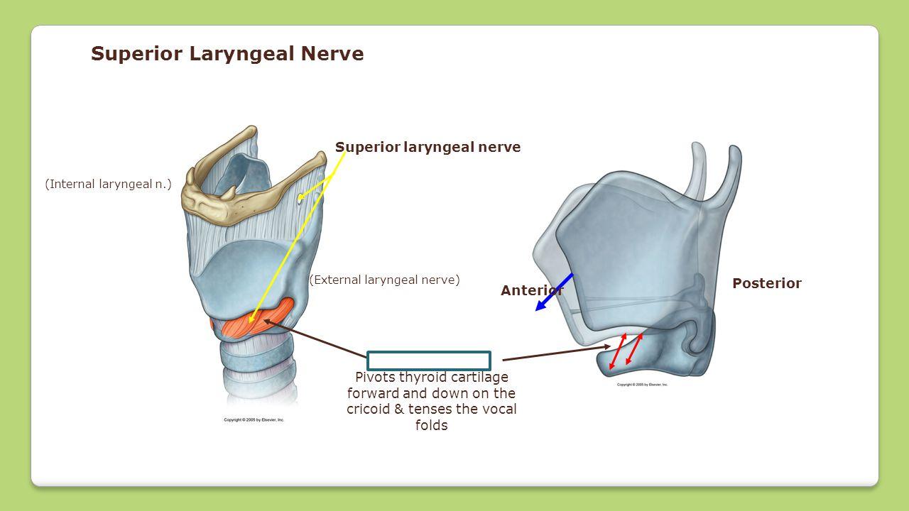 Superior Laryngeal Nerve