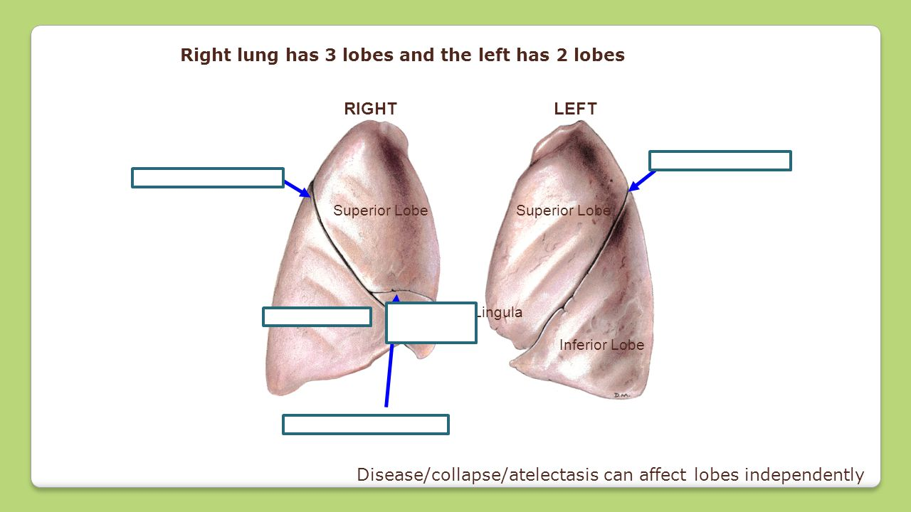 Right lung has 3 lobes and the left has 2 lobes