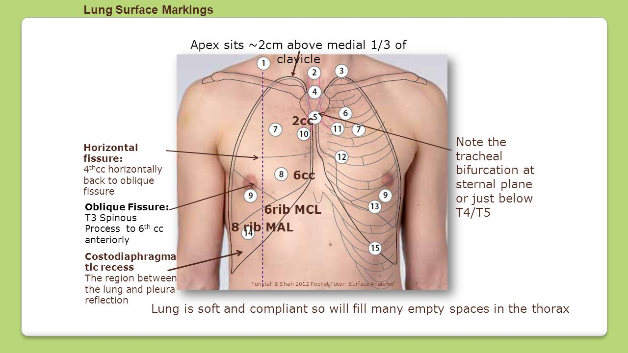Apex sits ~2cm above medial 1/3 of clavicle