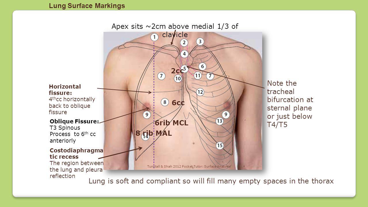 Pharynx Larynx Lung Anatomy Ppt Video Online Download