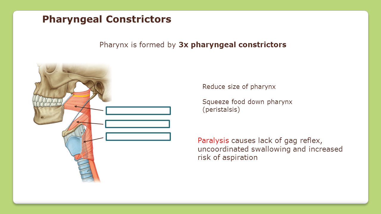 Pharynx is formed by 3x pharyngeal constrictors