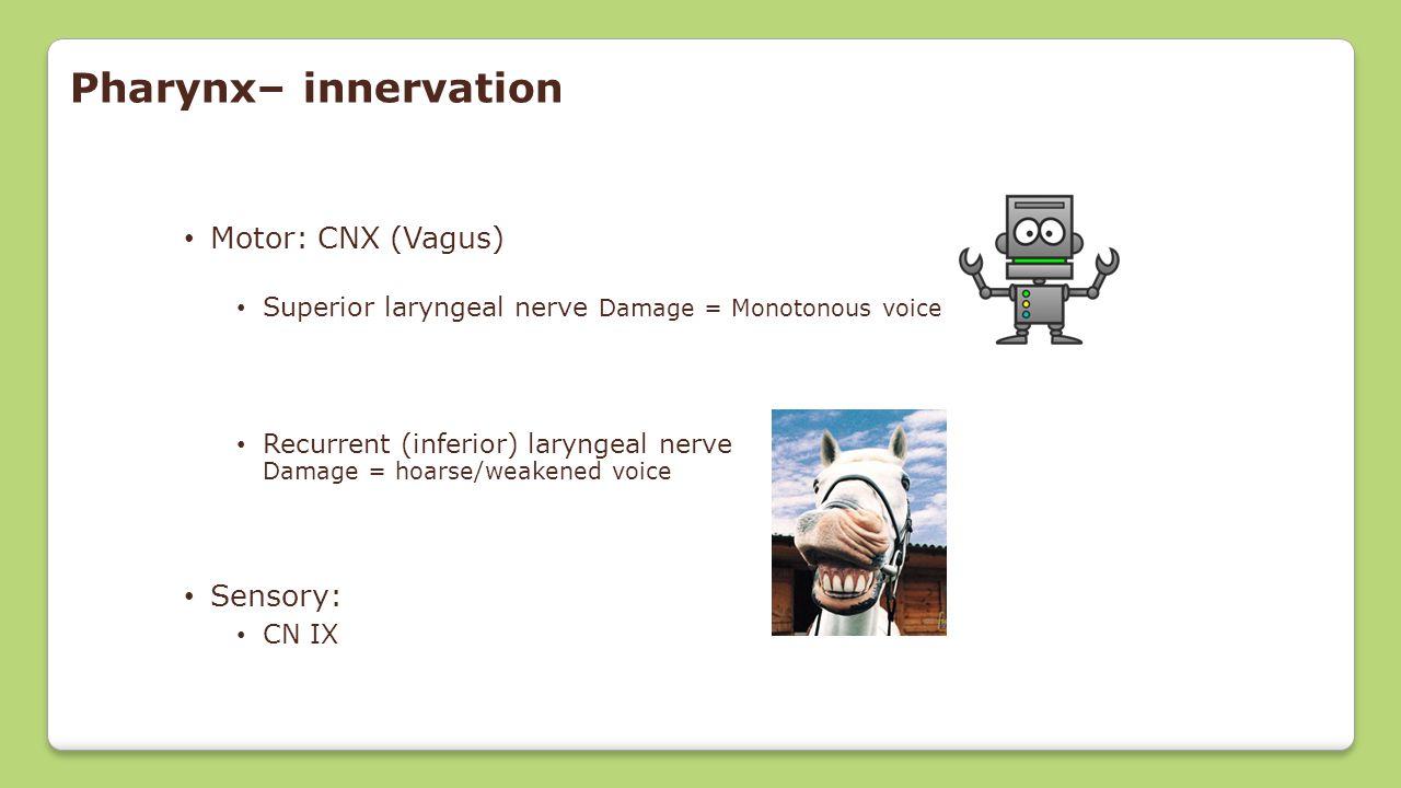 Pharynx– innervation Motor: CNX (Vagus) Sensory:
