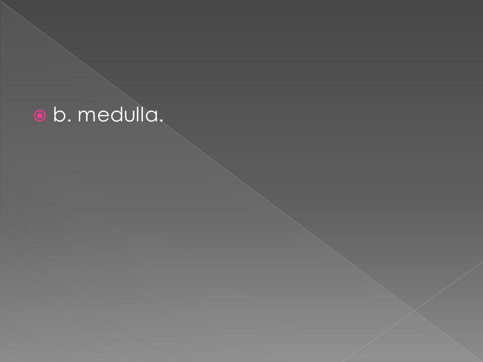b. medulla.