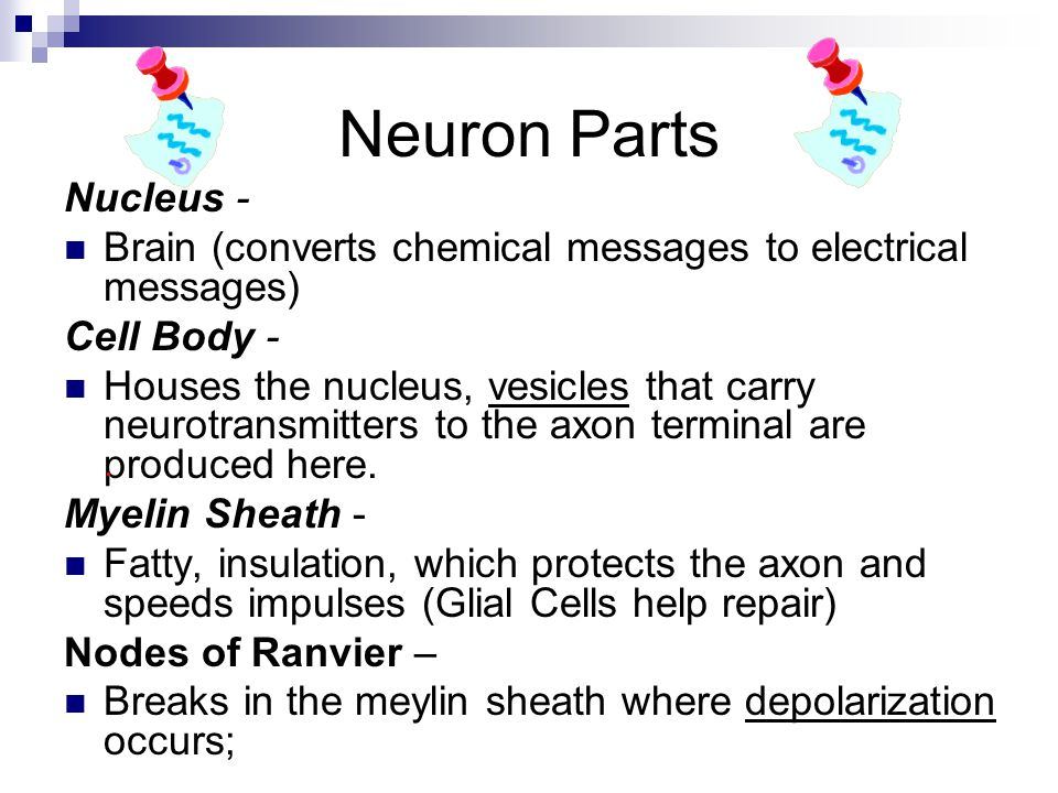 Neuron Parts Nucleus - Brain (converts chemical messages to electrical messages) Cell Body -