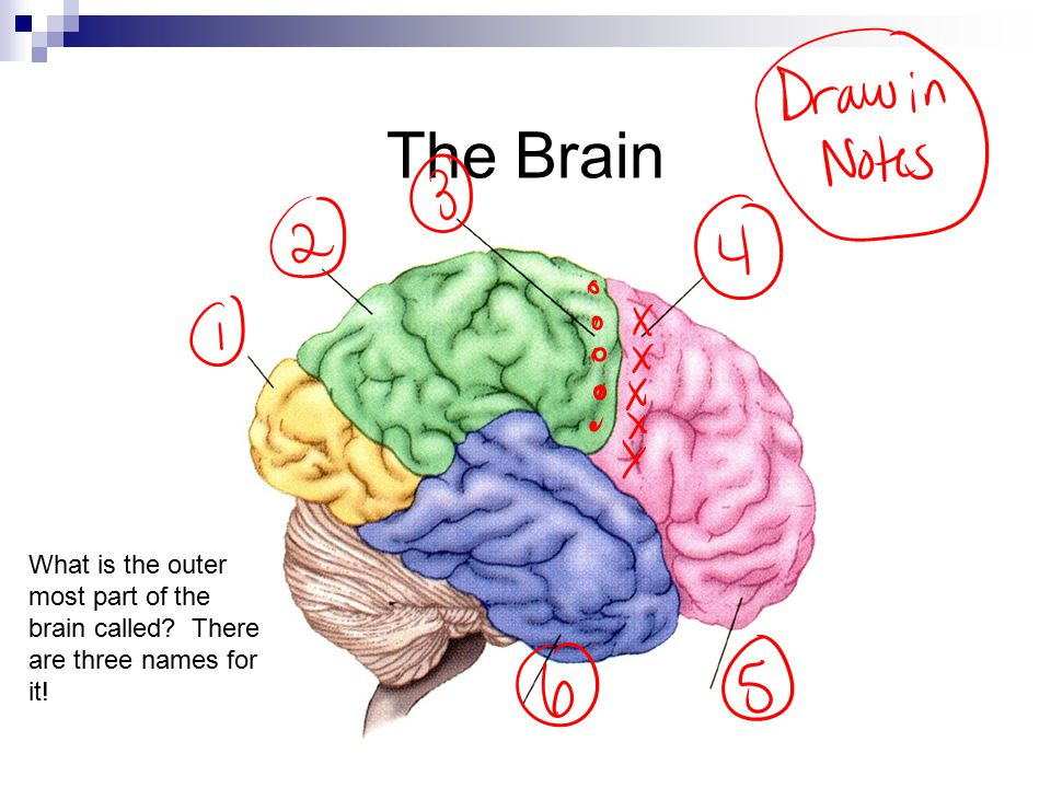 The Brain What is the outer most part of the brain called There are three names for it!