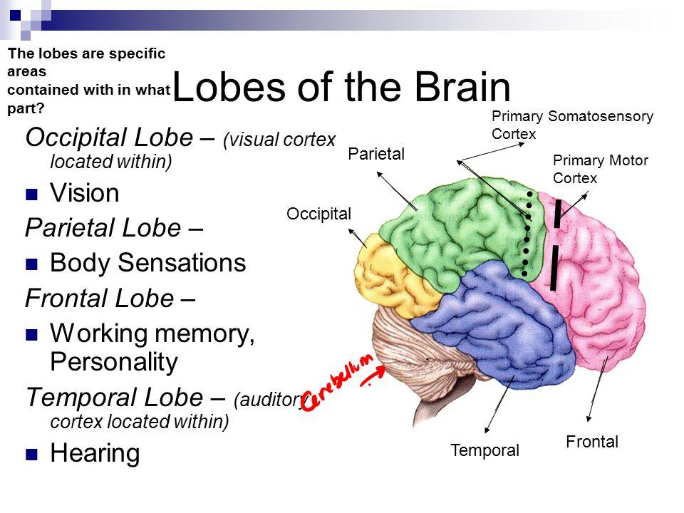 Lobes of the Brain Occipital Lobe – (visual cortex located within)