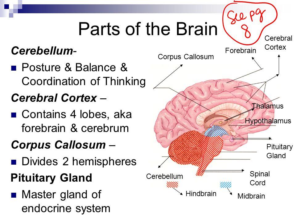 Parts of the Brain Cerebellum-