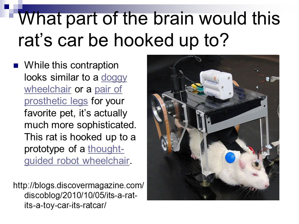 What part of the brain would this rat's car be hooked up to