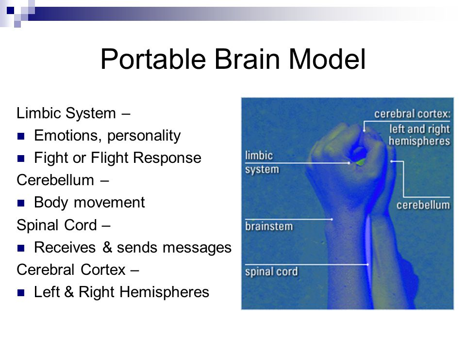 Portable Brain Model Limbic System – Emotions, personality