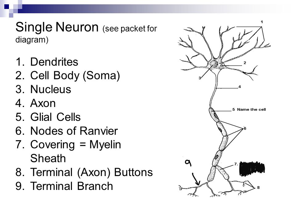 Single Neuron (see packet for diagram)