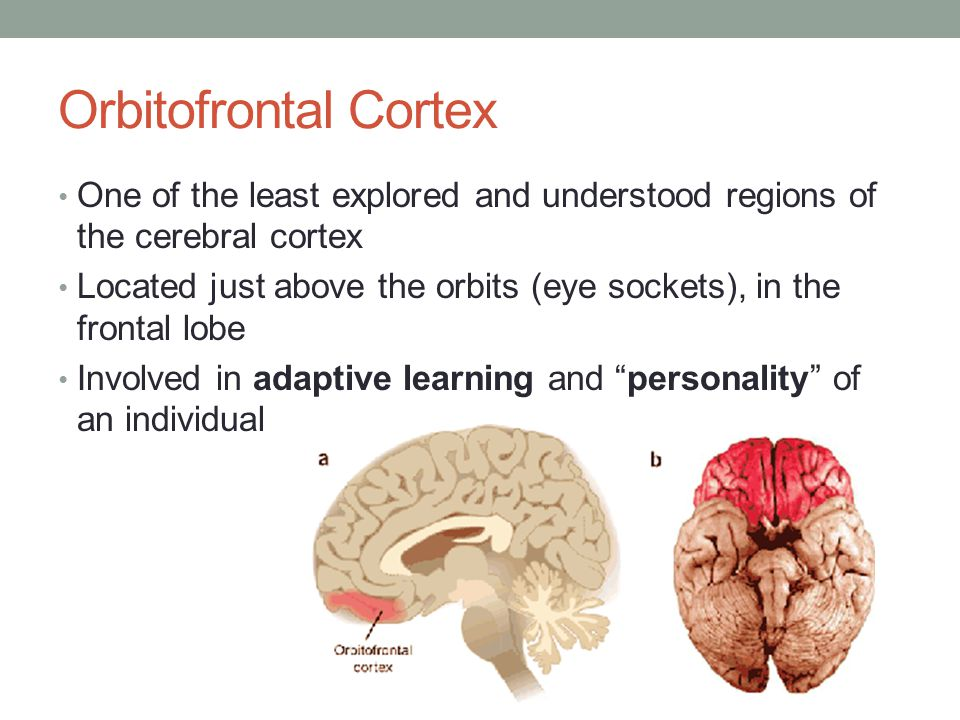 Orbitofrontal Cortex One of the least explored and understood regions of the cerebral cortex.