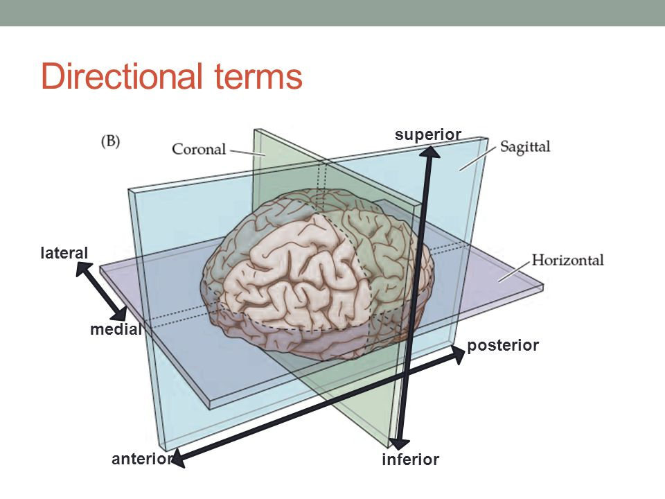 Directional terms superior lateral medial posterior anterior inferior