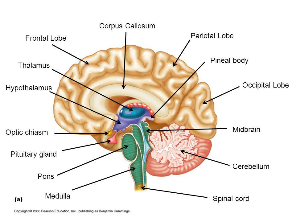 Corpus Callosum Parietal Lobe. Frontal Lobe. Pineal body. Thalamus. Occipital Lobe. Hypothalamus.
