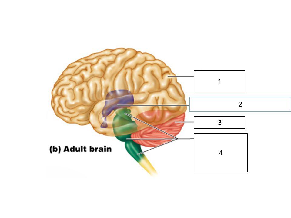 1 2 Thalamus and Hypothalamus 3 4 Midbrain Pons Medulla