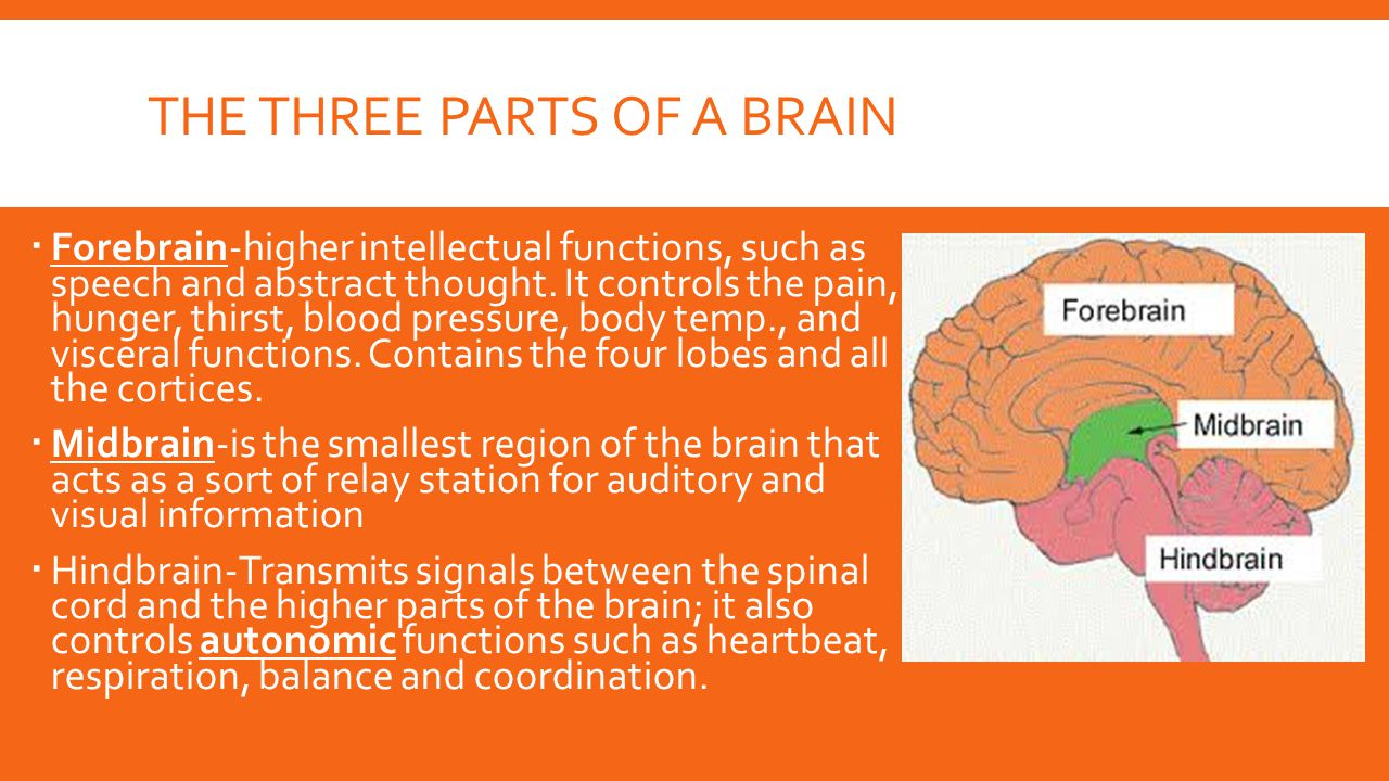 The three Parts of a brain