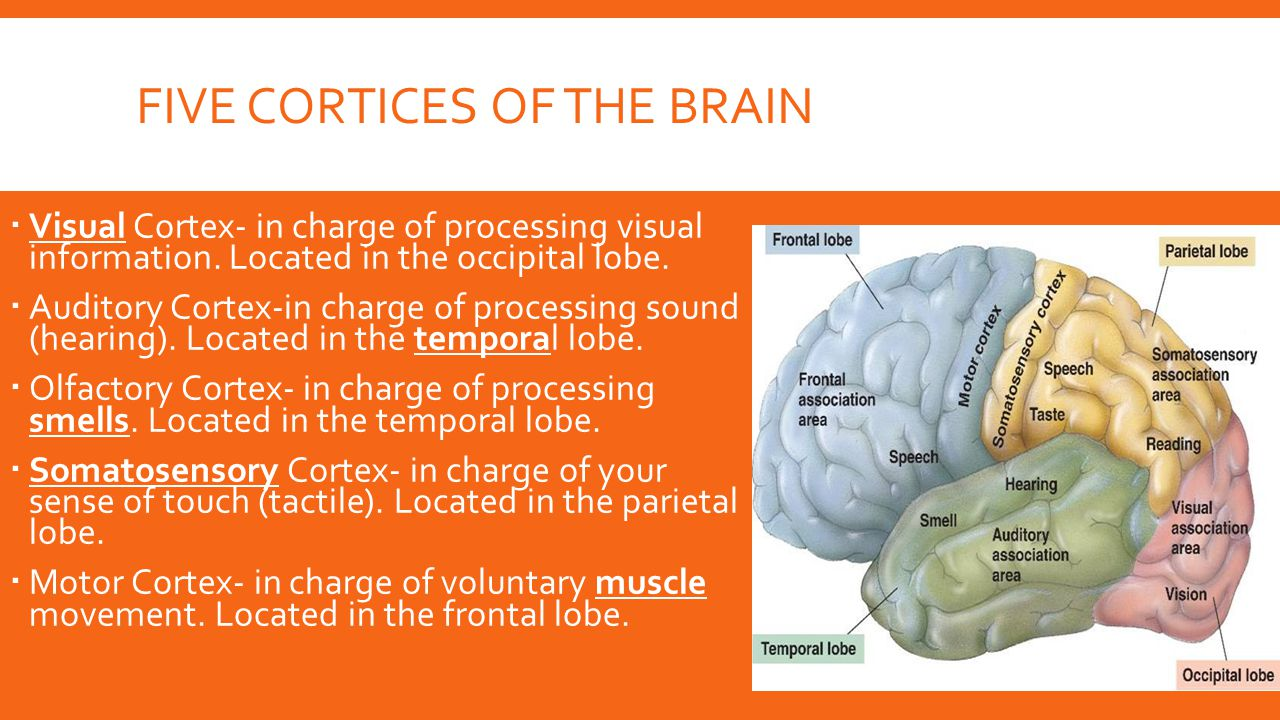Five Cortices of the brain