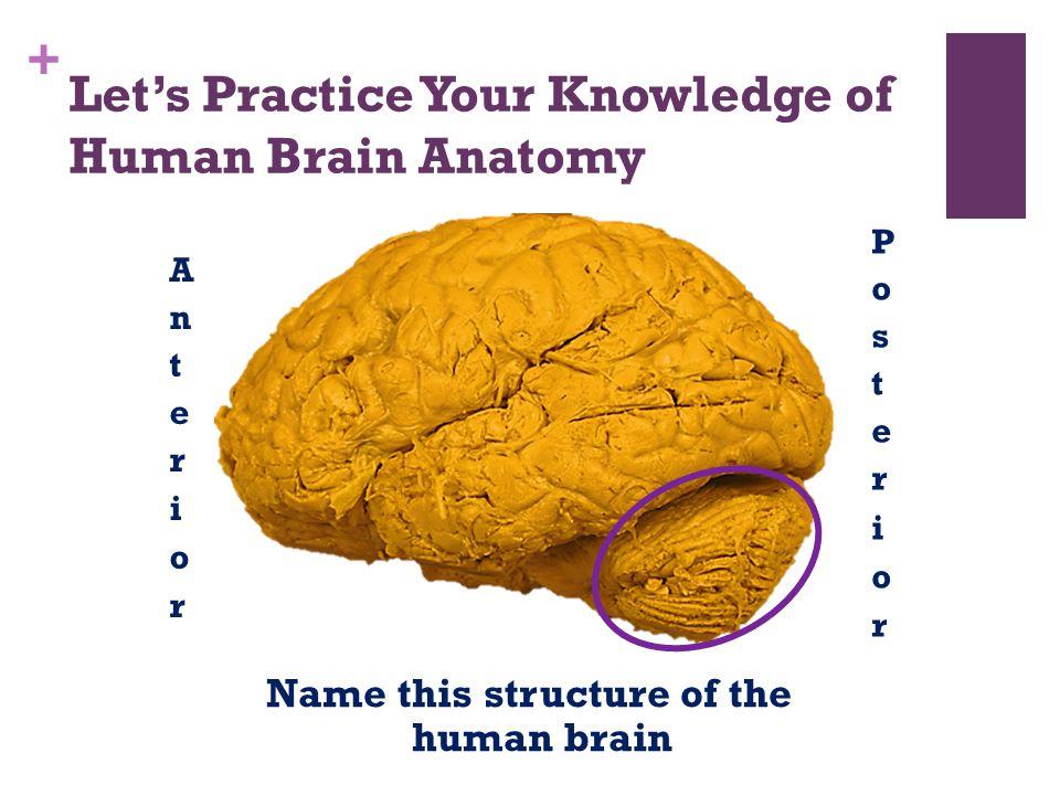 Erfreut Human Brain Anatomy Quiz Bilder - Menschliche Anatomie ...