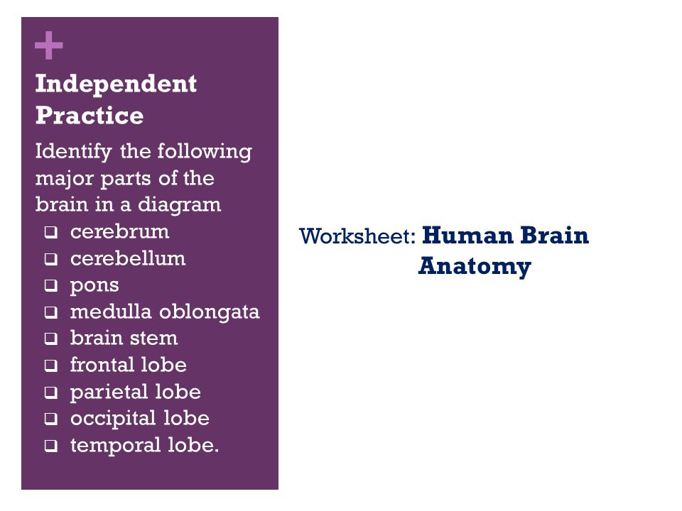 A Visual Guide to The Human Brain ppt download – Brain Anatomy Worksheet