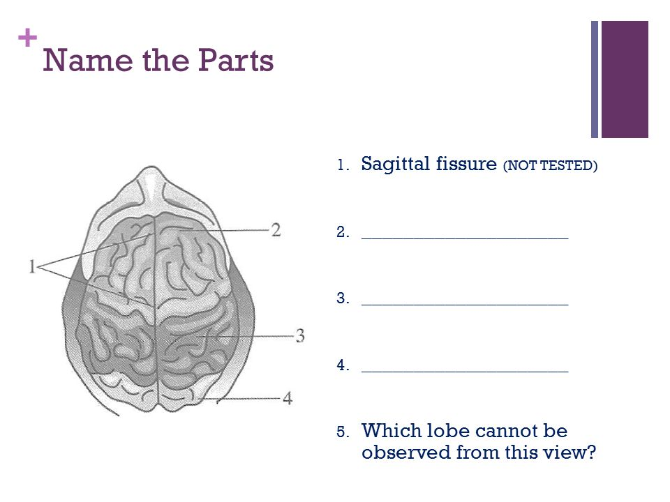 Name the Parts Sagittal fissure (NOT TESTED) ____________________