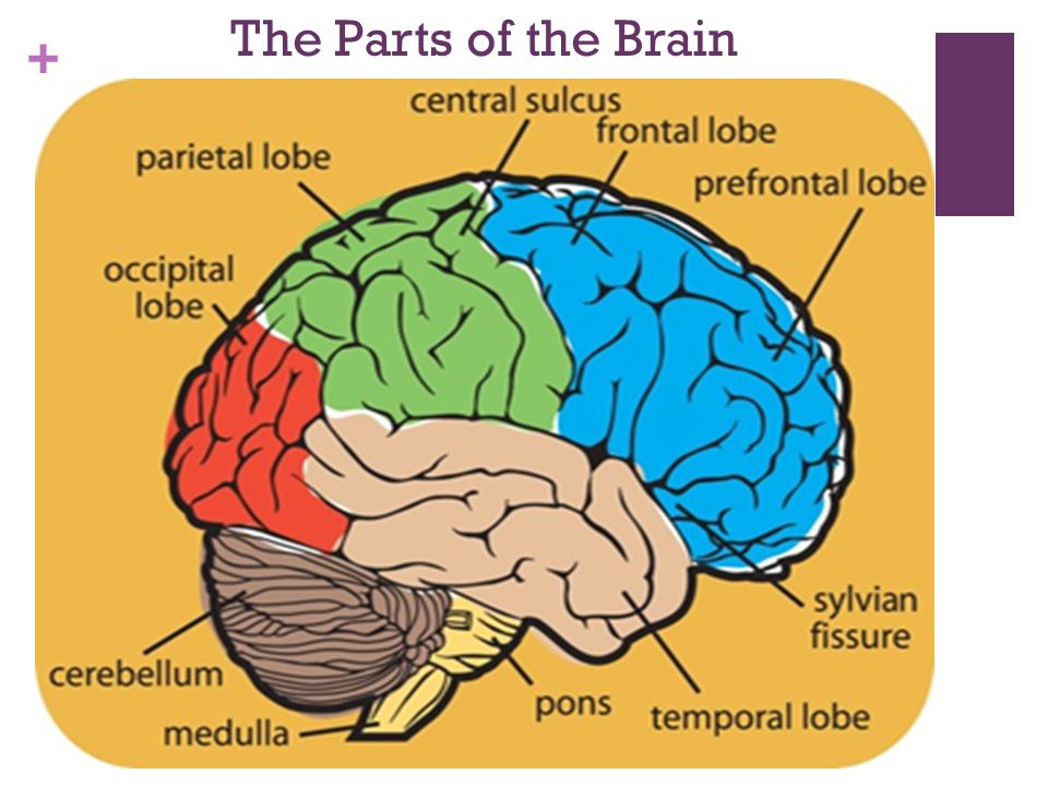 compare human and sheep brain pons medulla relationship