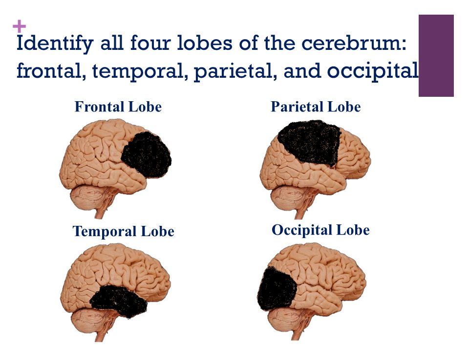 Identify all four lobes of the cerebrum: frontal, temporal, parietal, and occipital