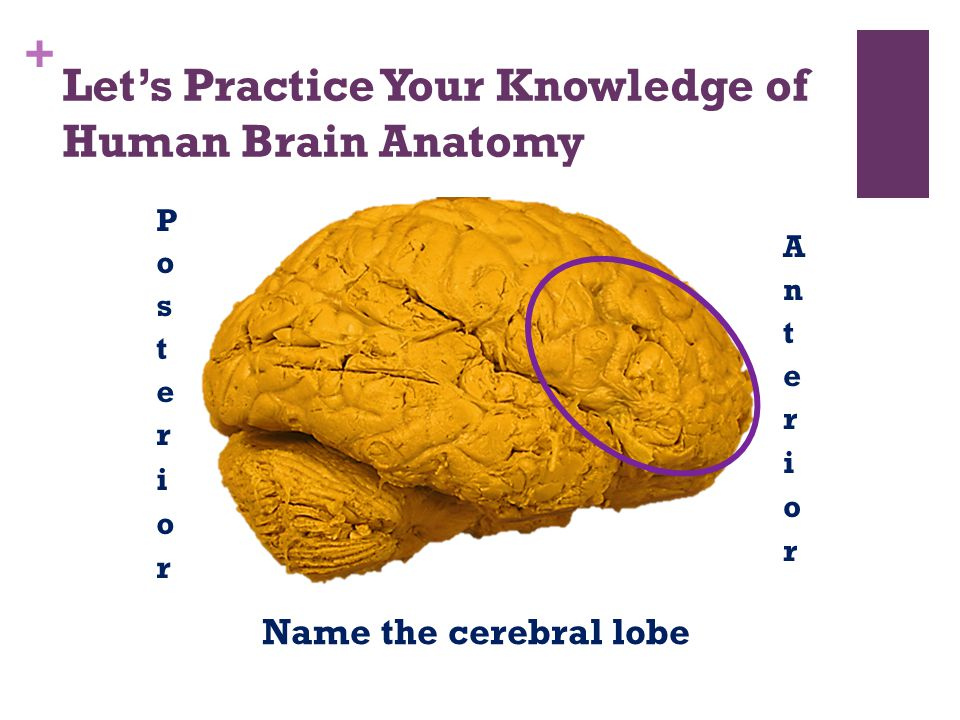 Let's Practice Your Knowledge of Human Brain Anatomy