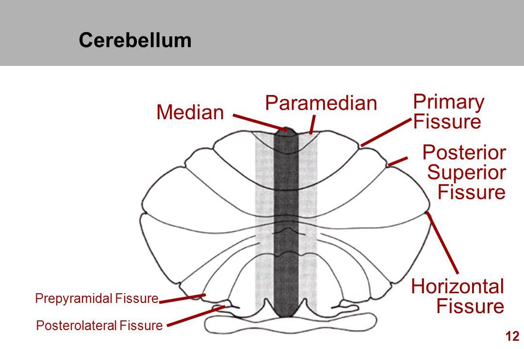 Cerebellum Paramedian Primary Median Fissure Posterior Superior