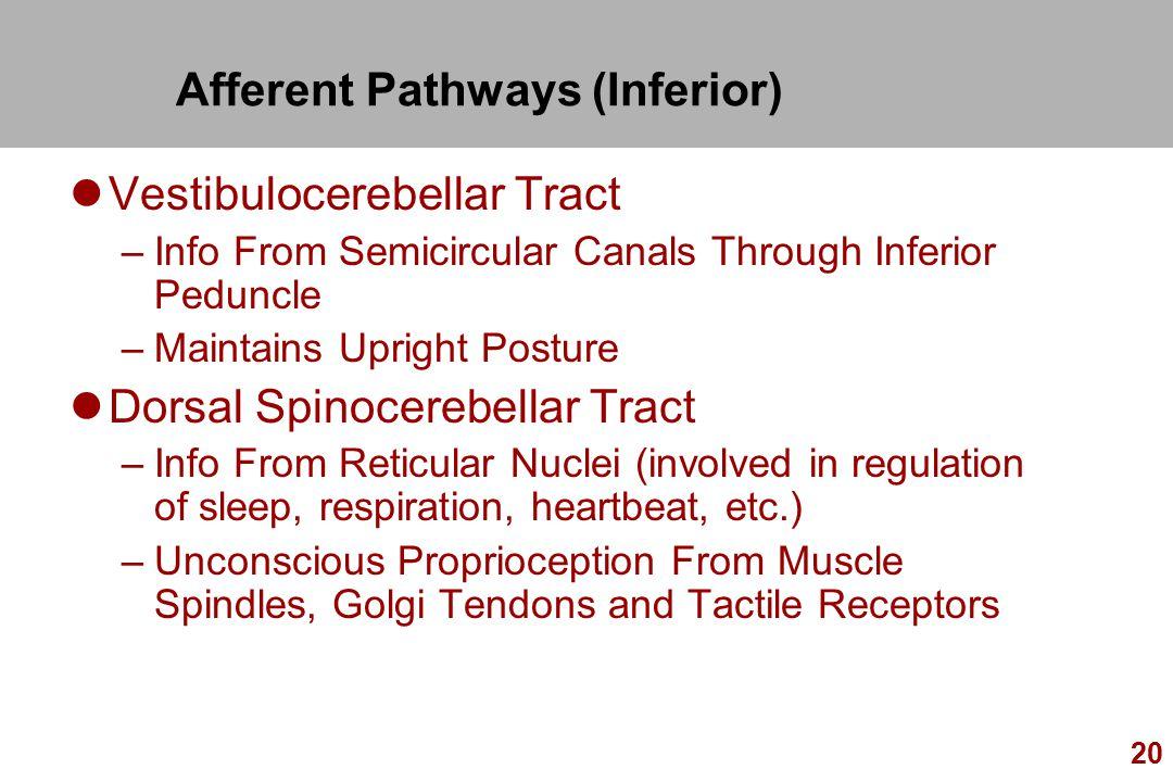 Afferent Pathways (Inferior)
