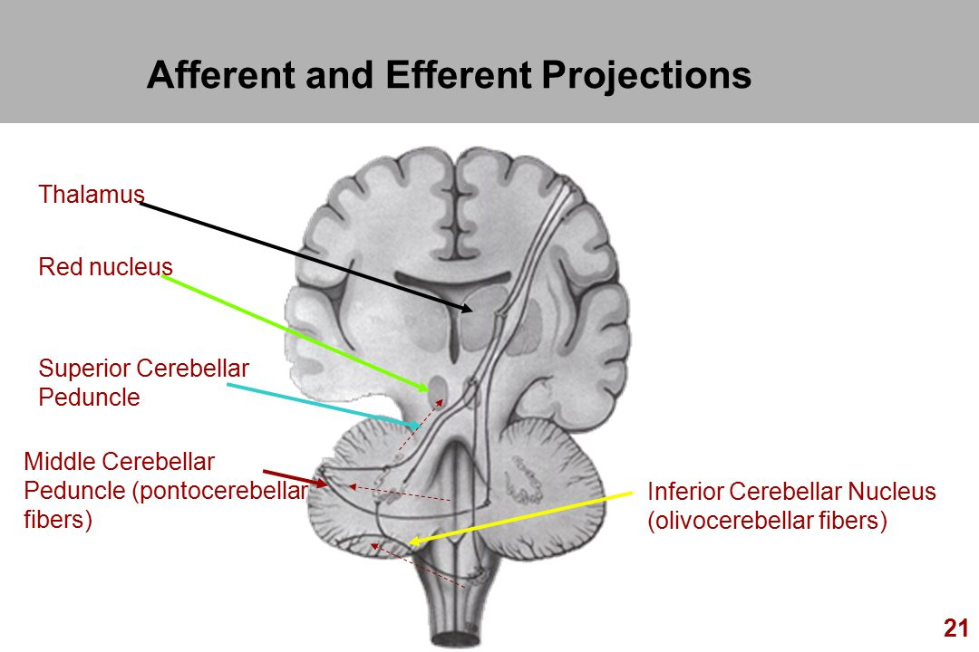 Afferent and Efferent Projections