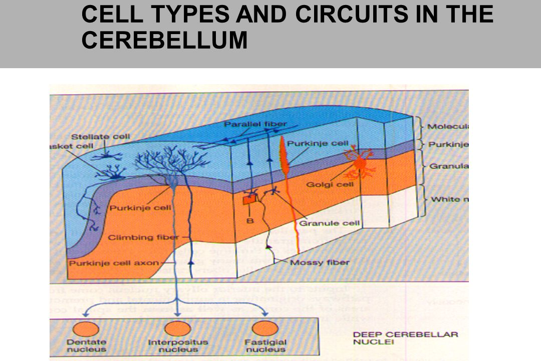 CELL TYPES AND CIRCUITS IN THE CEREBELLUM