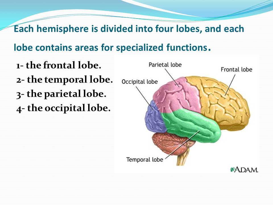 Each hemisphere is divided into four lobes, and each lobe contains areas for specialized functions.