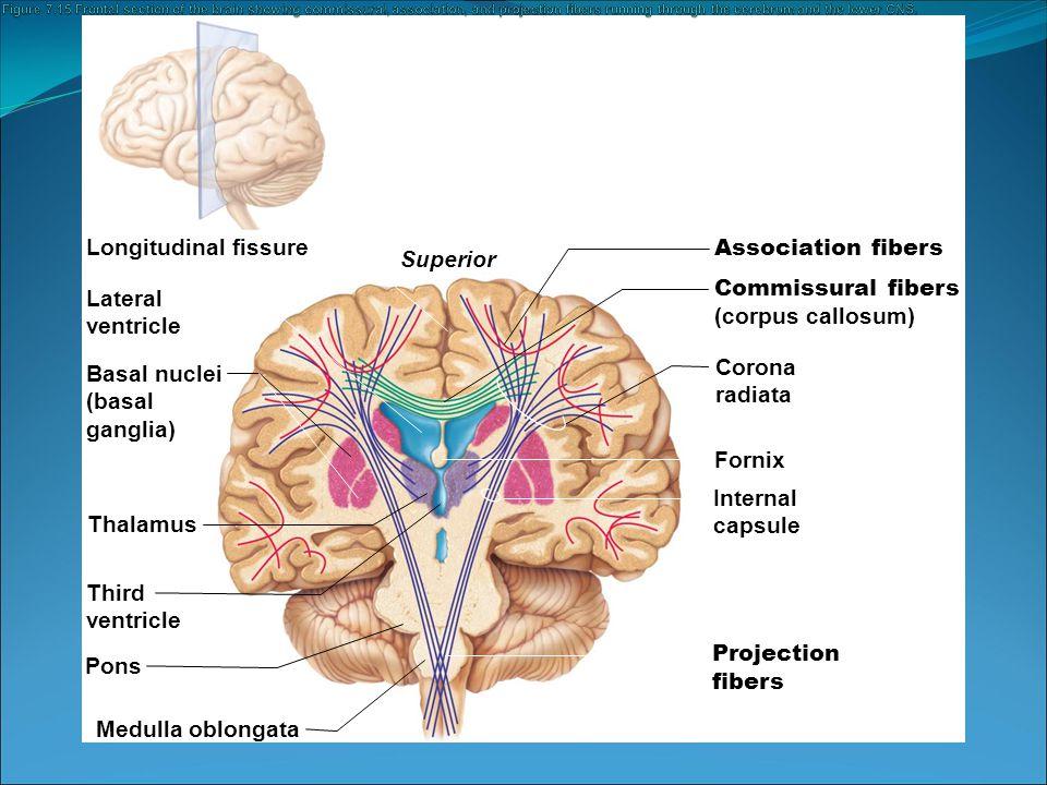Commissural fibers (corpus callosum) Lateral ventricle