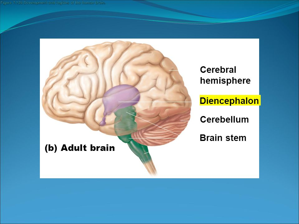 Figure 7.12b Development and regions of the human brain.