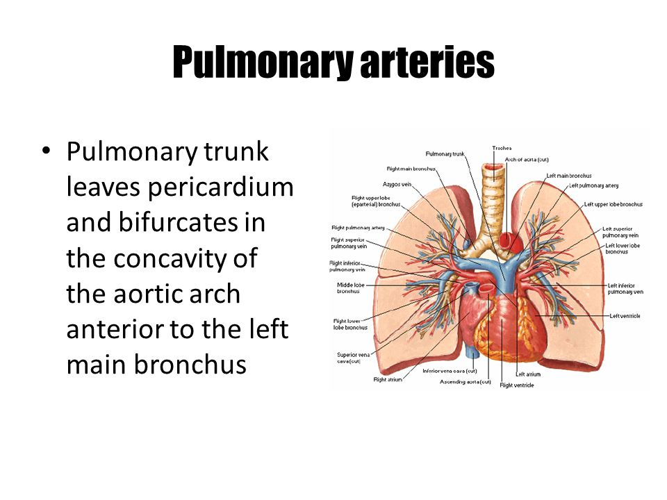 Pulmonary arteries Pulmonary trunk leaves pericardium and bifurcates in the concavity of the aortic arch anterior to the left main bronchus.