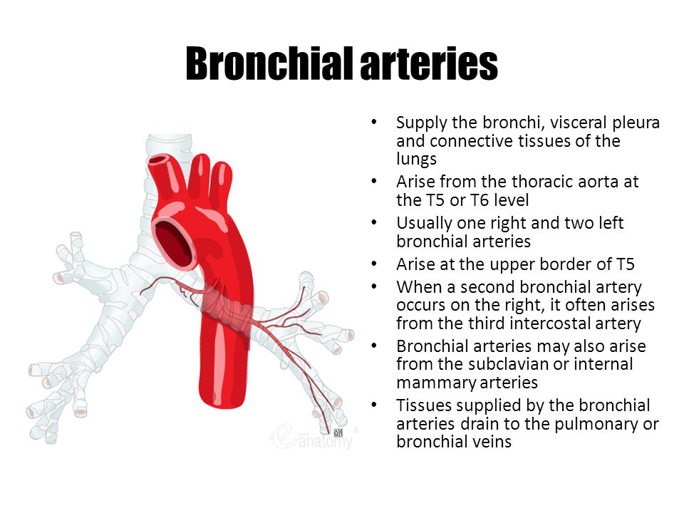 Bronchial arteries Supply the bronchi, visceral pleura and connective tissues of the lungs. Arise from the thoracic aorta at the T5 or T6 level.