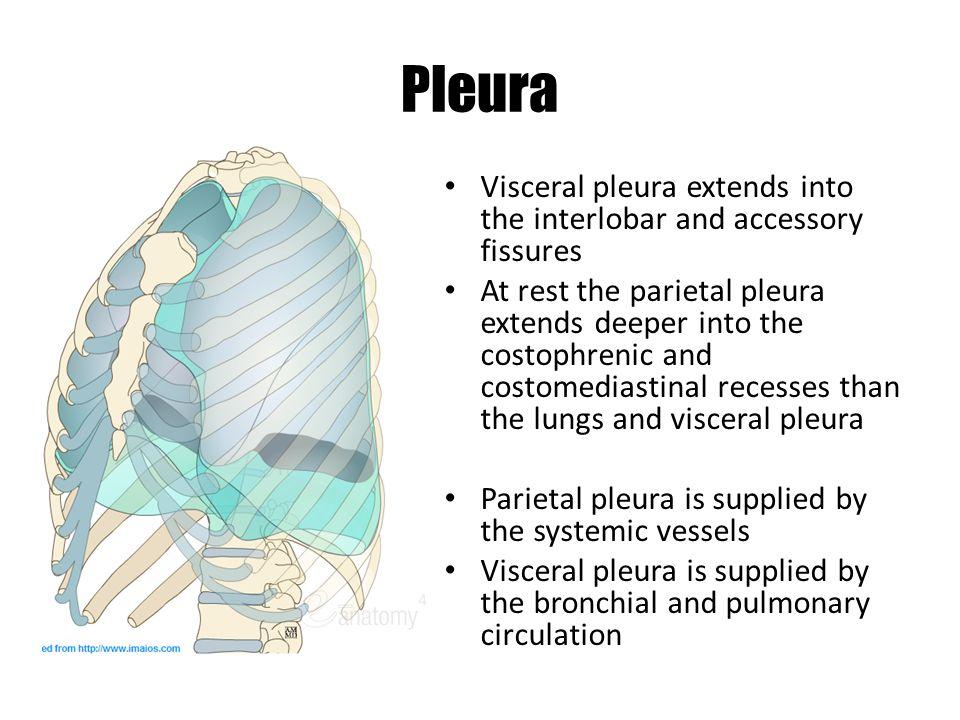 Pleura Visceral pleura extends into the interlobar and accessory fissures.
