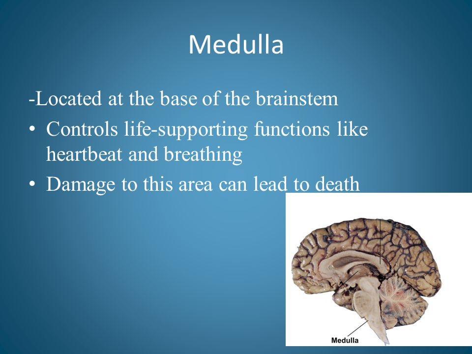Medulla -Located at the base of the brainstem