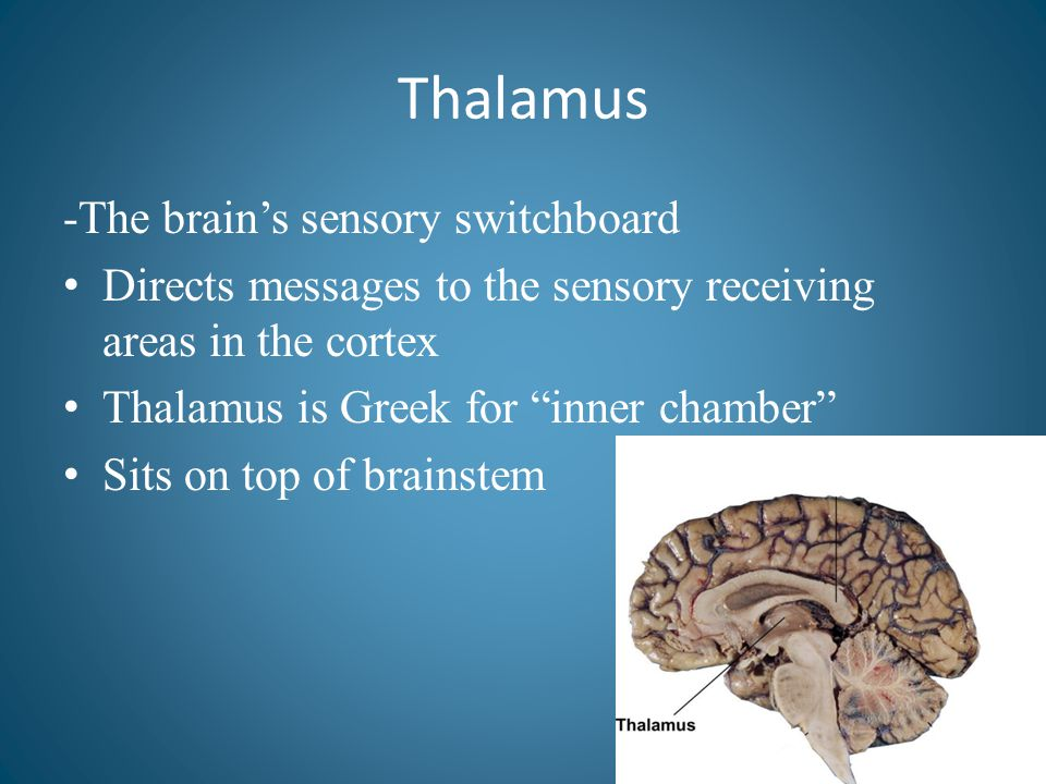 Thalamus -The brain's sensory switchboard