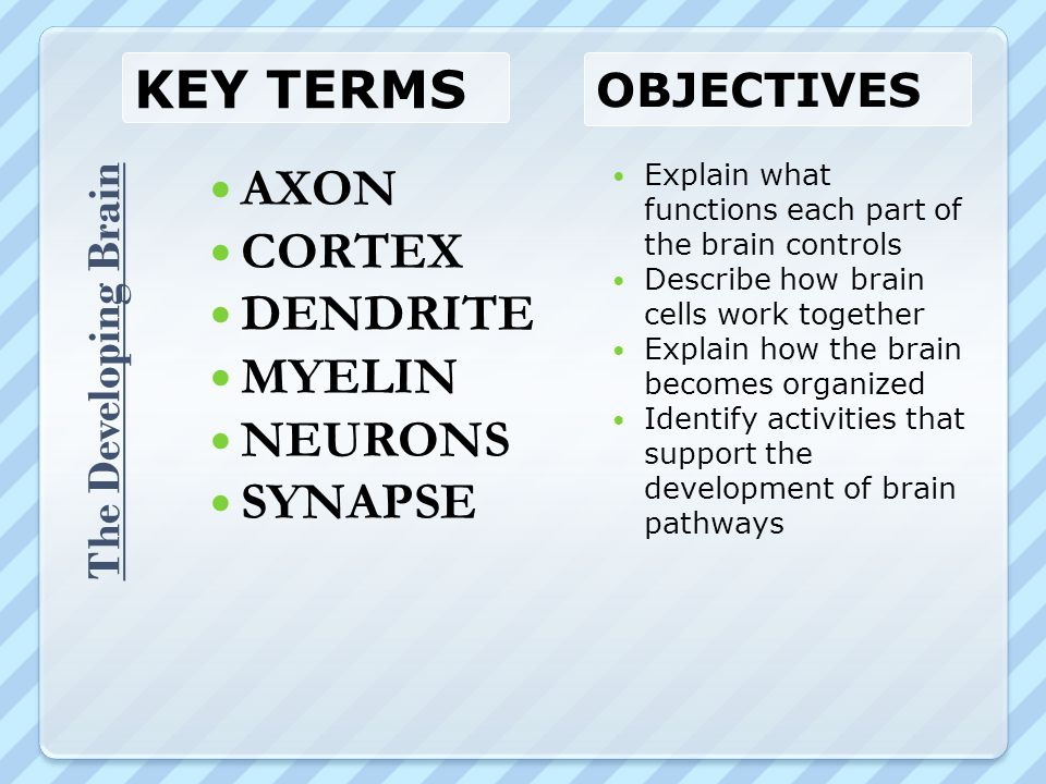 Key Terms AXON CORTEX DENDRITE MYELIN NEURONS SYNAPSE Objectives