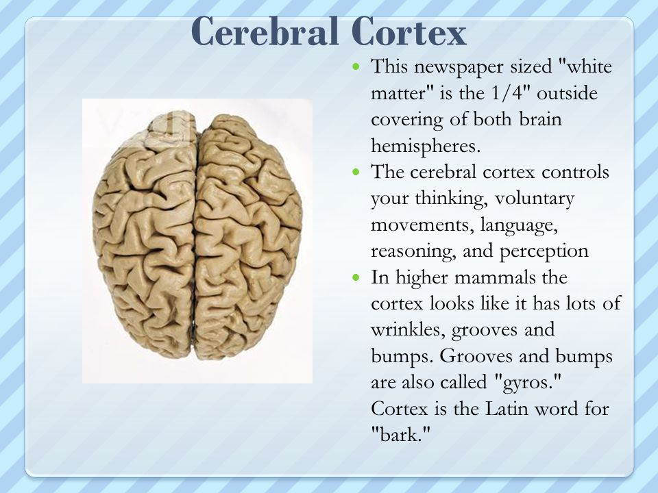 Cerebral Cortex This newspaper sized white matter is the 1/4 outside covering of both brain hemispheres.