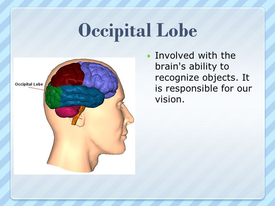 Occipital Lobe Involved with the brain s ability to recognize objects.