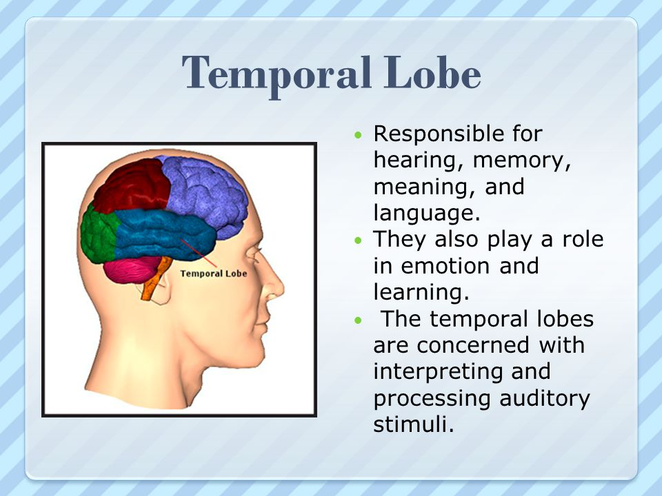Temporal Lobe Responsible for hearing, memory, meaning, and language.