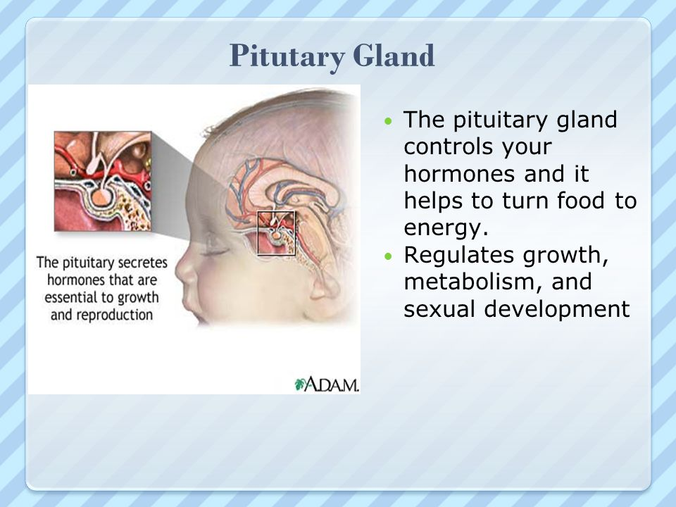 Pitutary Gland The pituitary gland controls your hormones and it helps to turn food to energy.